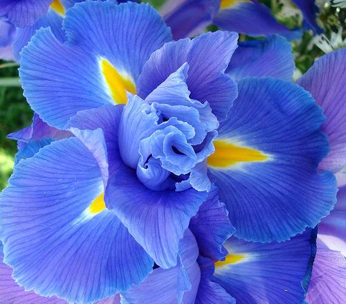 синий и желтый в природе