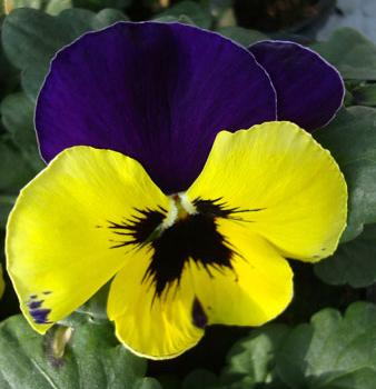 фиолетовй и желтый в природе
